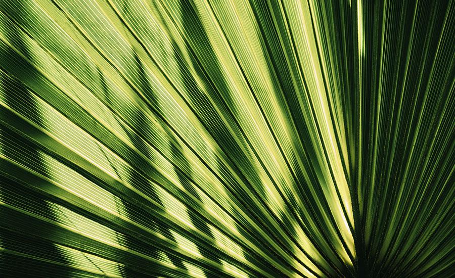 palmier macro